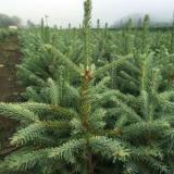 低价批发 优质云杉树苗规格齐全