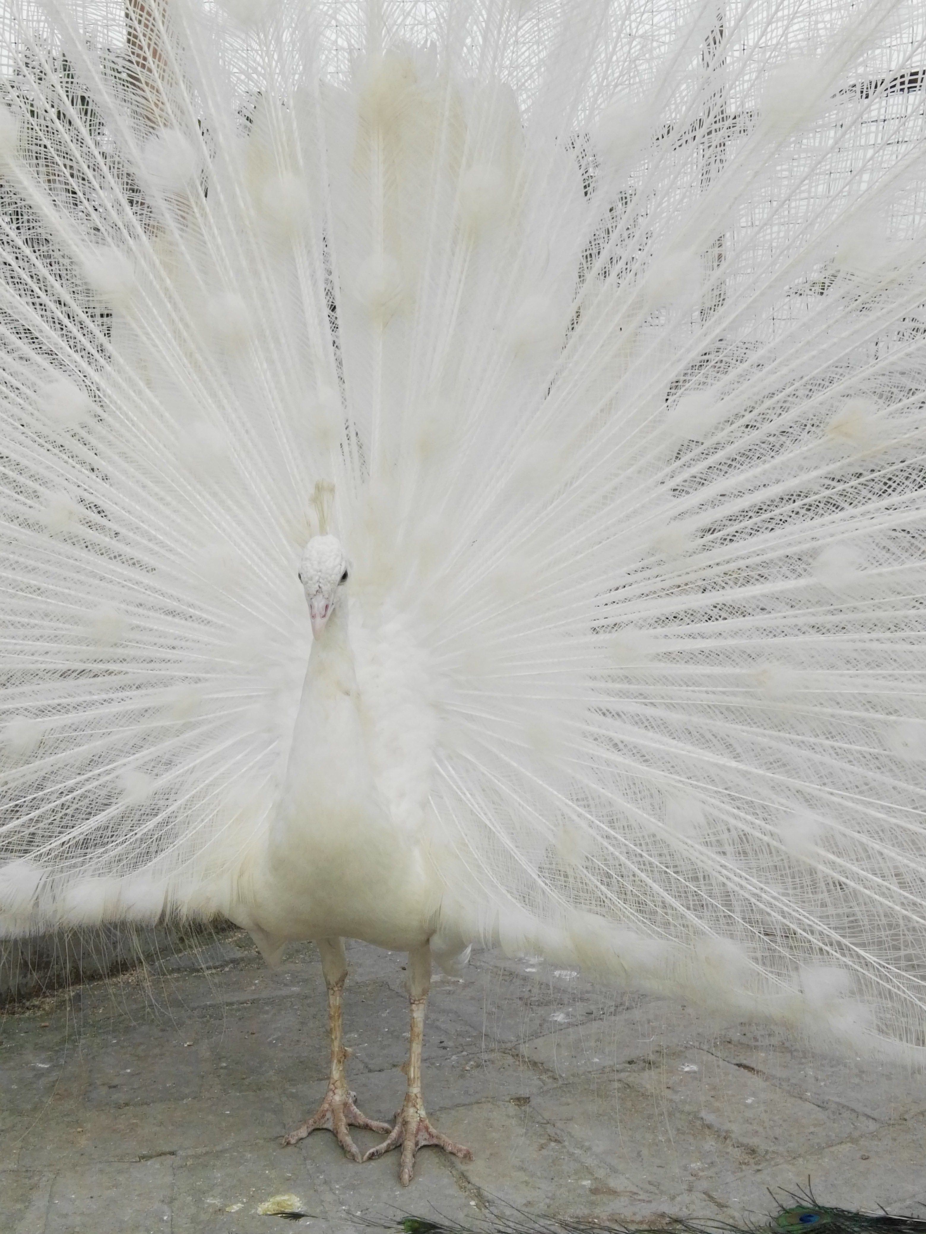 中国孔雀供应商供应种孔雀,白孔雀,花孔雀,蓝孔雀,观赏孔雀