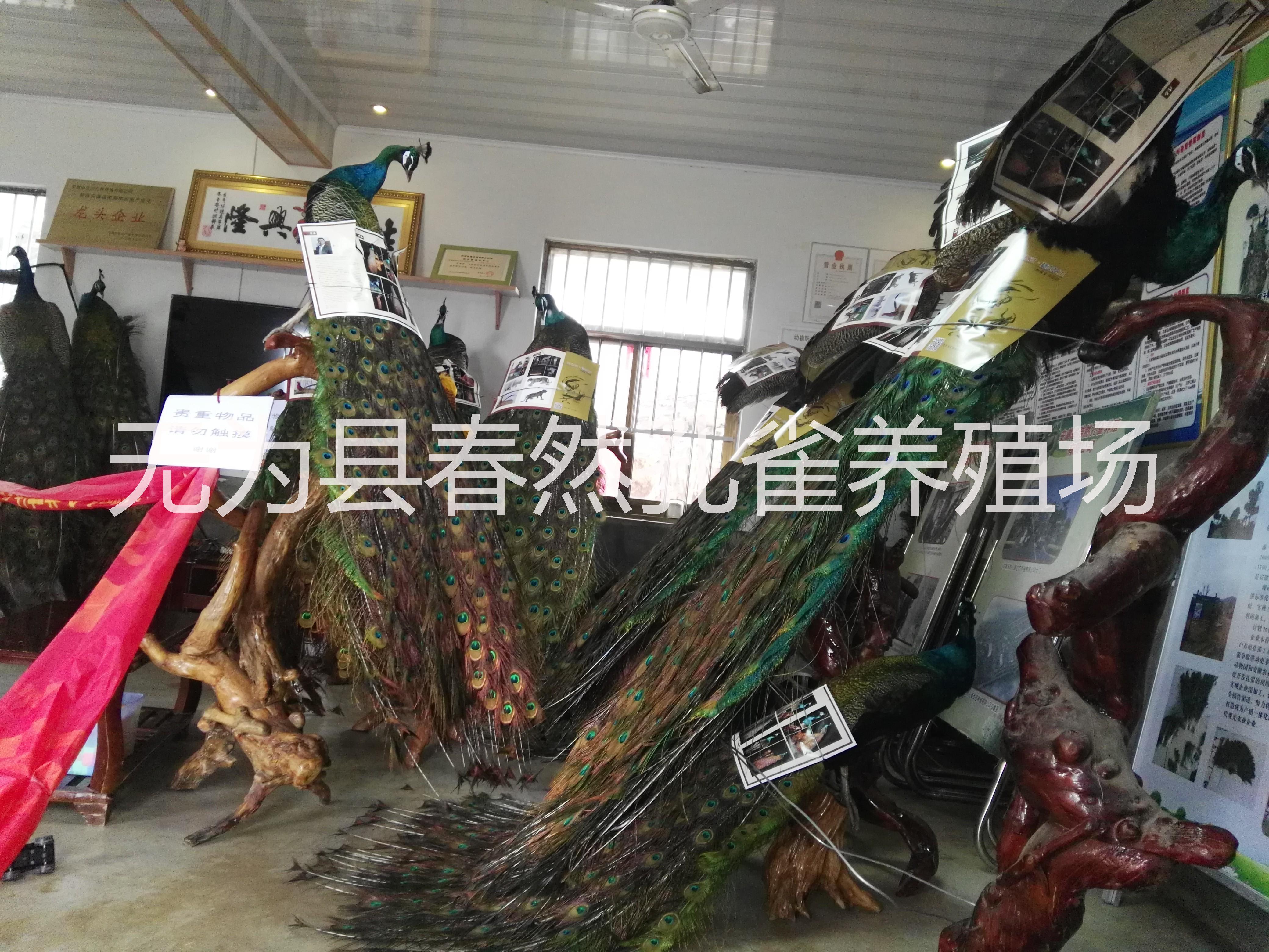 安徽省孔雀养殖场供应花孔雀,白孔雀,孔雀苗及孔雀养殖技术