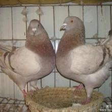 银王鸽多少钱一斤?银王鸽价格行情批发