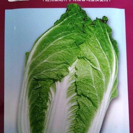 70天五伦大白菜种子基地种植大白菜种子大白菜种子批发厂家基地种植批发秋播大白菜种子