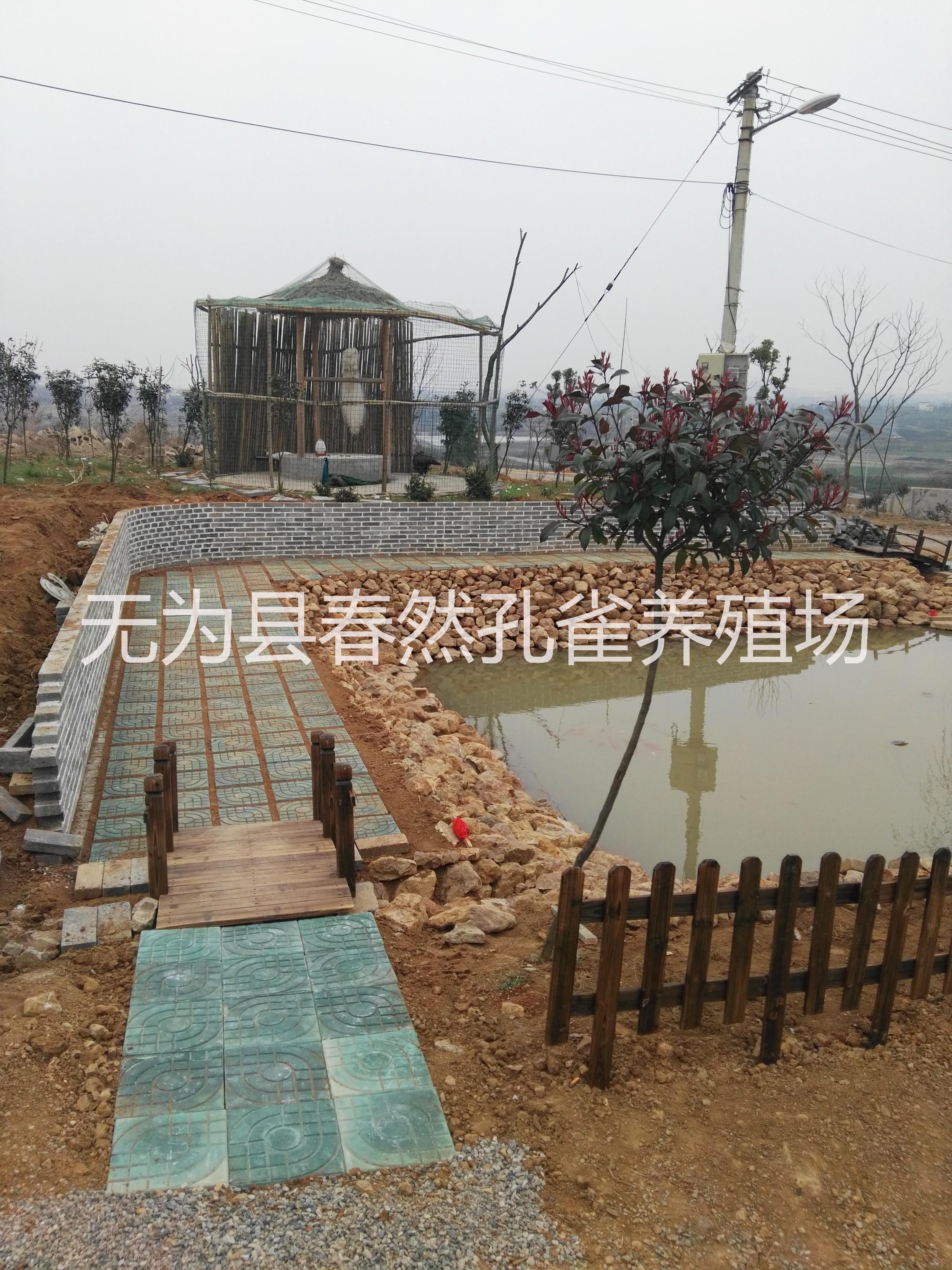 供应蓝孔雀,白孔雀,花孔雀安徽省浩然孔雀养殖有限公司