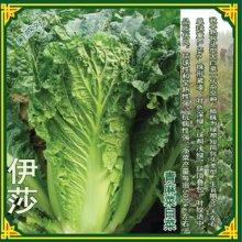伊莎青麻60大白菜种子白菜基地种植白菜基地批发大白菜种子公司长条型大白菜白菜种植公司批发