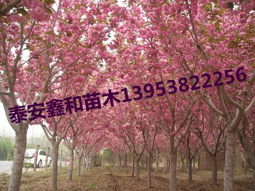 樱花树|樱花树苗|樱花树价格