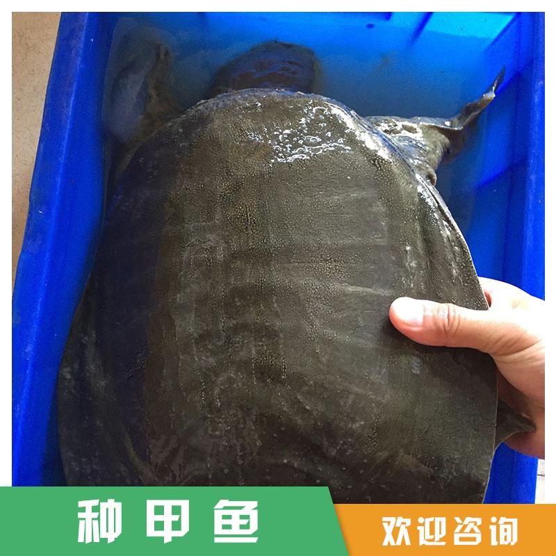 湖南厂家直销 角鳖 种甲鱼 甲鱼苗 供应批发 服务好 量大从优