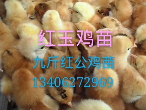 四川九斤红鸡苗/九斤红公鸡苗/红玉鸡苗/红玉公鸡苗