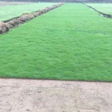 中山园林绿化工程 中山市园林绿化工程 草皮批发 草坪种植基地 草坪种植方法