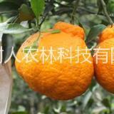 四川不知火丑柑桔苗种植基地直销批发价格-提供不知火丑柑桔苗管理技术指导报价