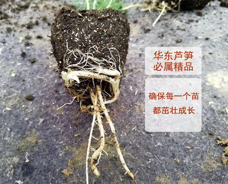 华东芦笋2000-3F1芦笋种子国产四季蔬菜白绿青芦笋石刁柏