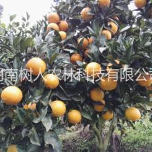 锦蜜冰糖橙苗树人公司供应各类柑桔苗脐橙苗品种管理技术指导图片