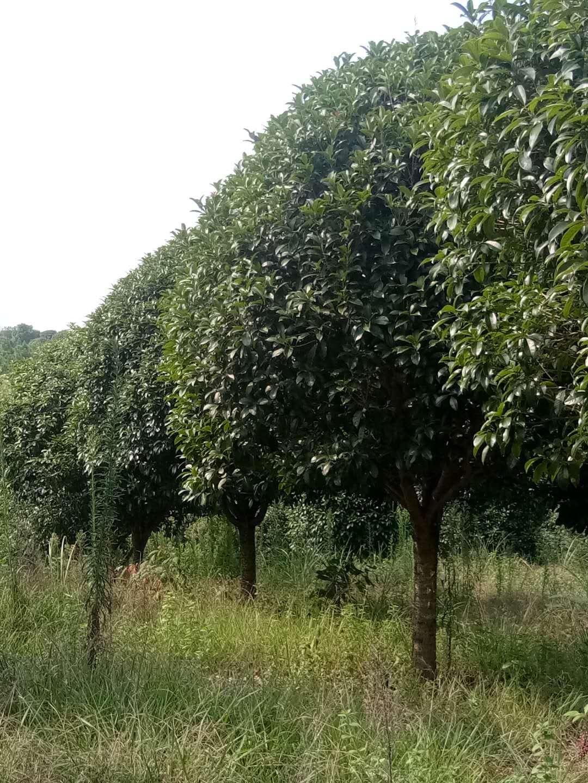桂花树|广西优质桂花树供货商|广西优质桂花树批发价格|广西优质桂花树种植基地