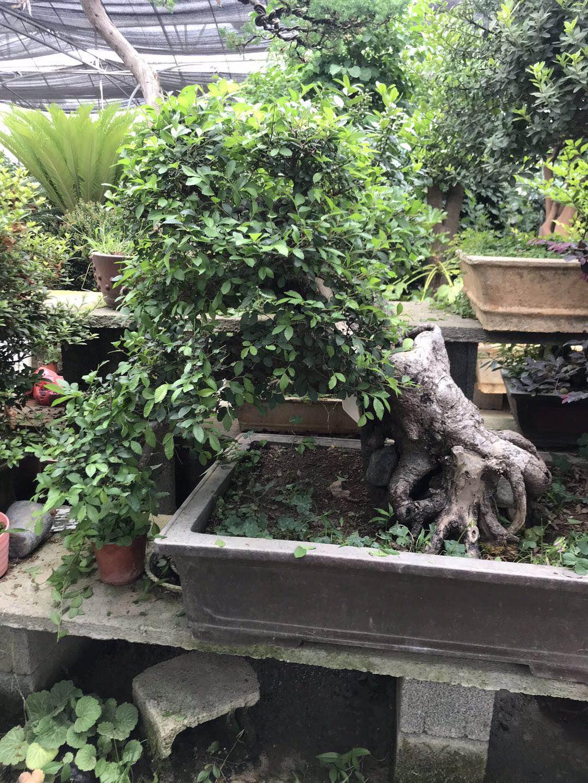 小叶榆树盆景_河南小叶榆树盆景供应商_小叶榆树盆景绿植室内外桌面摆放