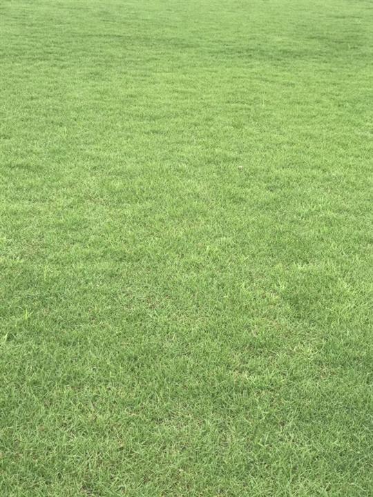 夏威夷草坪  江门夏威夷草坪 江门夏威夷草坪供应商 夏威夷草坪批发出售 夏威夷草坪价格实惠
