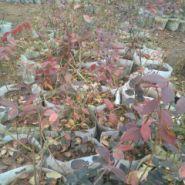 酷派蓝莓苗怎么种植图片