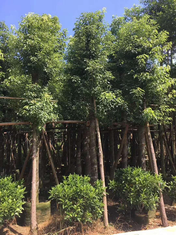 揭阳15公分香樟树  广东揭阳15公分香樟树  樟树价格 香樟树绿化园林