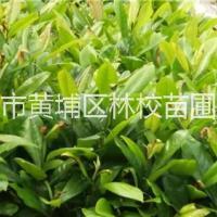 荷花玉兰 广东荷花玉兰大量供应 荷花玉兰种子 荷花玉兰树
