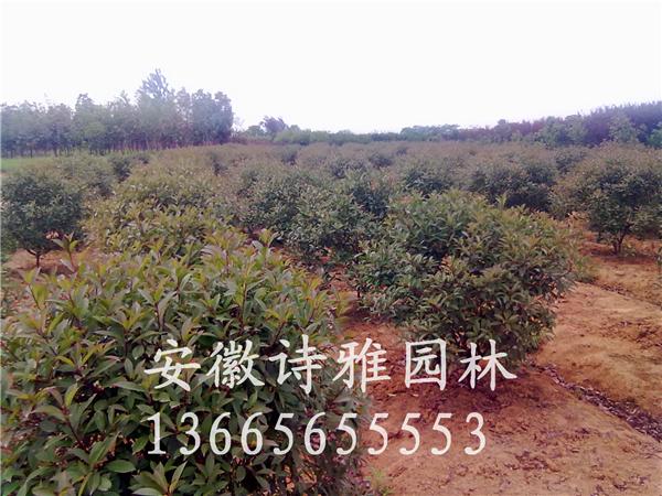 红叶石楠球安徽肥西极低出售1米红叶石楠球,红叶石楠球价格