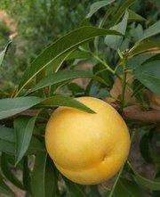 黄桃树苗,黄桃新品种,新品种黄桃树苗,黄金蜜0号