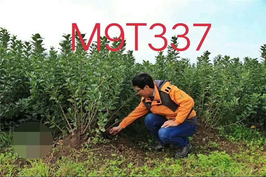 M9T337自根砧苹果苗/M9苹果苗/M9自根砧