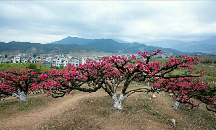 桃树好品种 桃树新品种 好看的红花桃树品种 口感好品质高的桃树品种 价格高的桃树品种 产量高的桃树品种 唯有连平鹰嘴