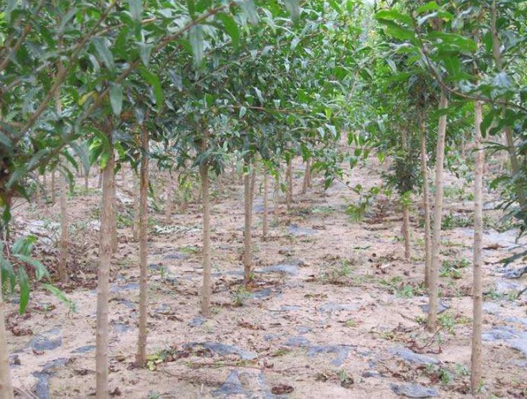 河阴软籽石榴树