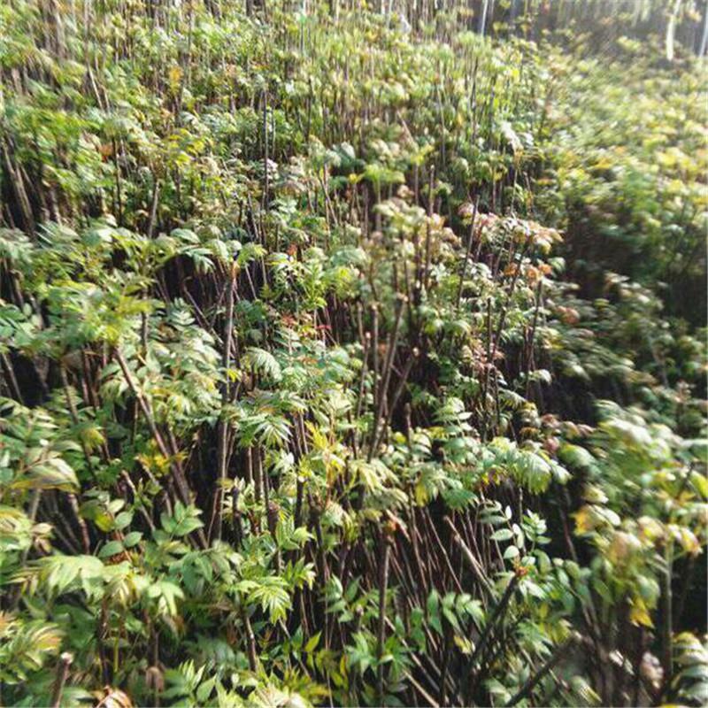 供应1-2公分露天种植香椿树 优质南方果树苗采购报价质量哪家好 泰安红油香椿树 泰安红油香椿树基地