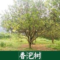 厂家直销 供应 香泡树  景观园林树木 厂家直销 服务好 运输有保障 香泡树