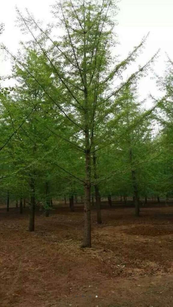 山东银杏树 山东银杏树批发 10公分银杏树价格 12公分银杏树 15公分银杏树价格