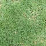 兰引3号足球场草坪种植基地 广东兰引3号足球场专用草种植 河源兰引3号足球场草坪