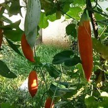 奇异瓜果种子|老鼠瓜|变色瓜种子
