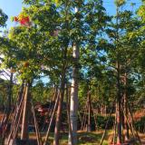 福建澳洲火焰木树苗 直销澳洲火焰木树苗 供应澳洲火焰木树苗 出售澳洲火焰木树苗