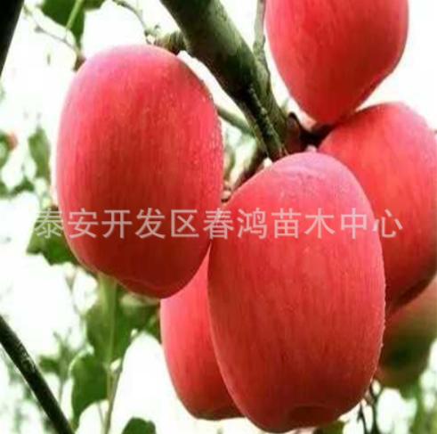 山东苹果苗3公分矮化苹果树 嫁接富士果树 供应苹果树 苹果树批发 苹果树报价 苹果苗