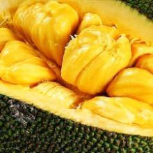 供应菠萝蜜苗 直销菠萝蜜苗 水果菠萝蜜苗 菠萝蜜苗供应商 菠萝蜜苗供销商