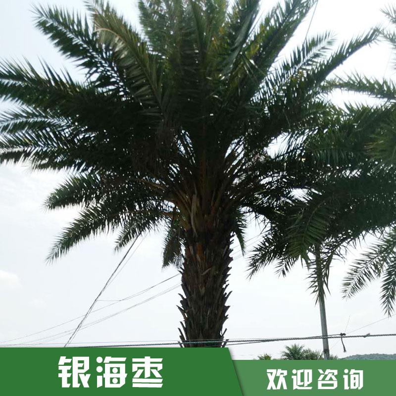 中东银海枣价格 优质中东银海枣种球苗圃直销 15059228086