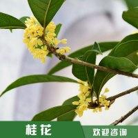 福建桂花树价格|观赏性金桂供应商|桂花种植基地|优质桂花树价格|桂花树苗圃直销