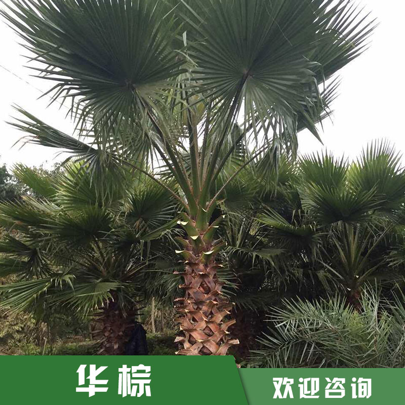 华棕 老人葵批发 漳州华棕价格 华盛顿棕榈 厂家直销 品质保证