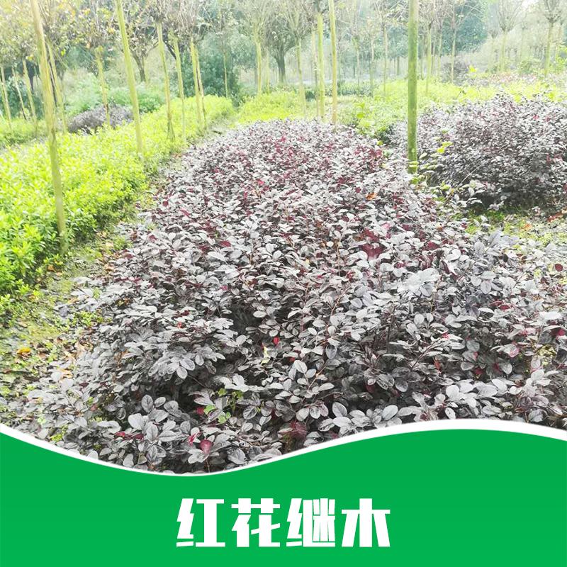 成都红花继木种植基地直销销售
