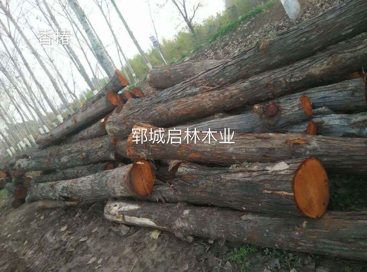 山东郓城启林木业供应用于门窗 室内装修的香椿木/装修木材 香椿木原木木材批发