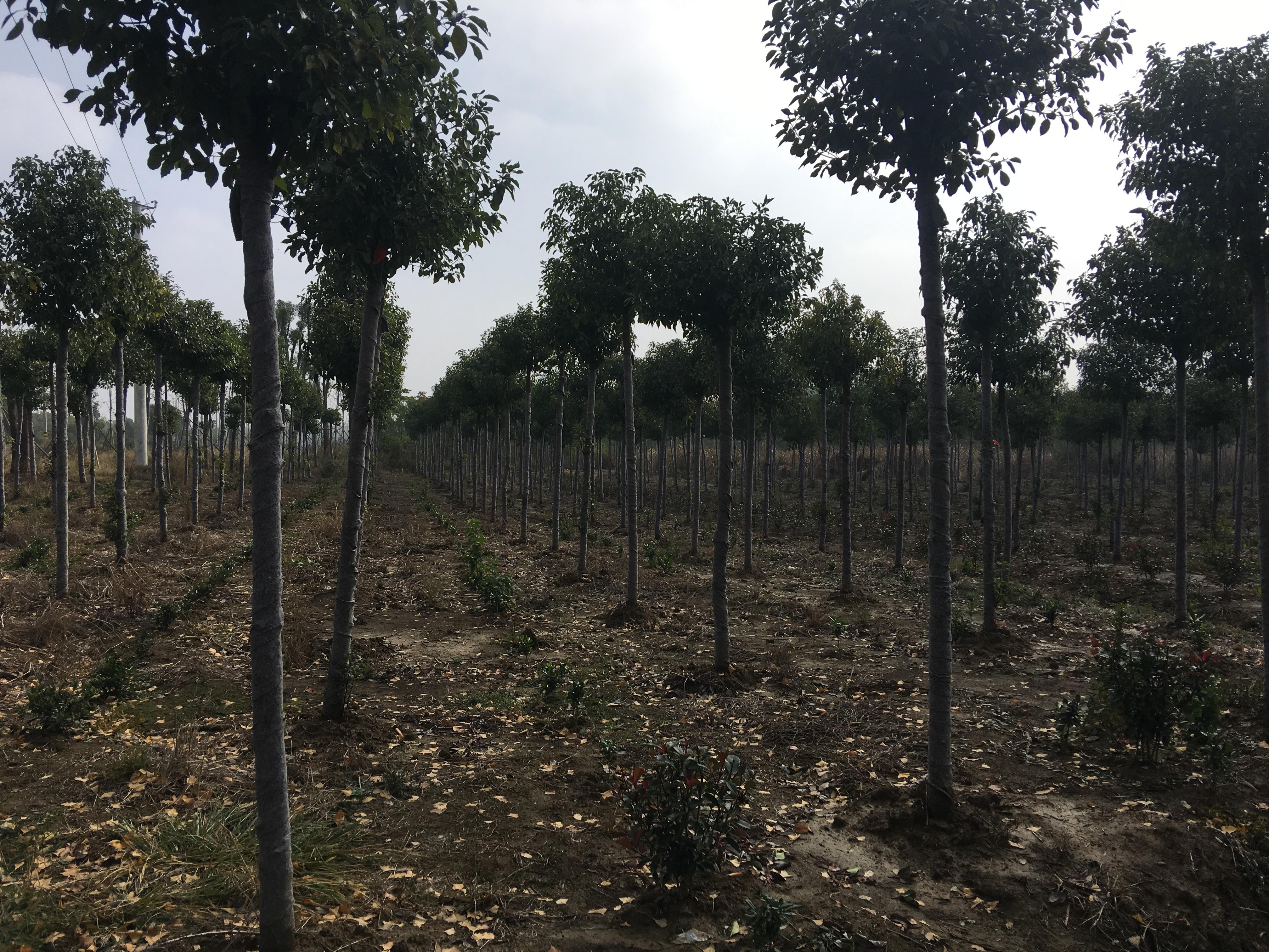 香樟苗-助农香樟苗基地-助农香樟苗多少钱-助农香樟苗价格