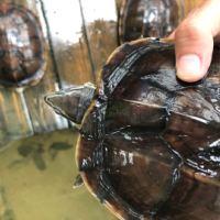 稳产安南龟 稳产安南龟 商品安南龟