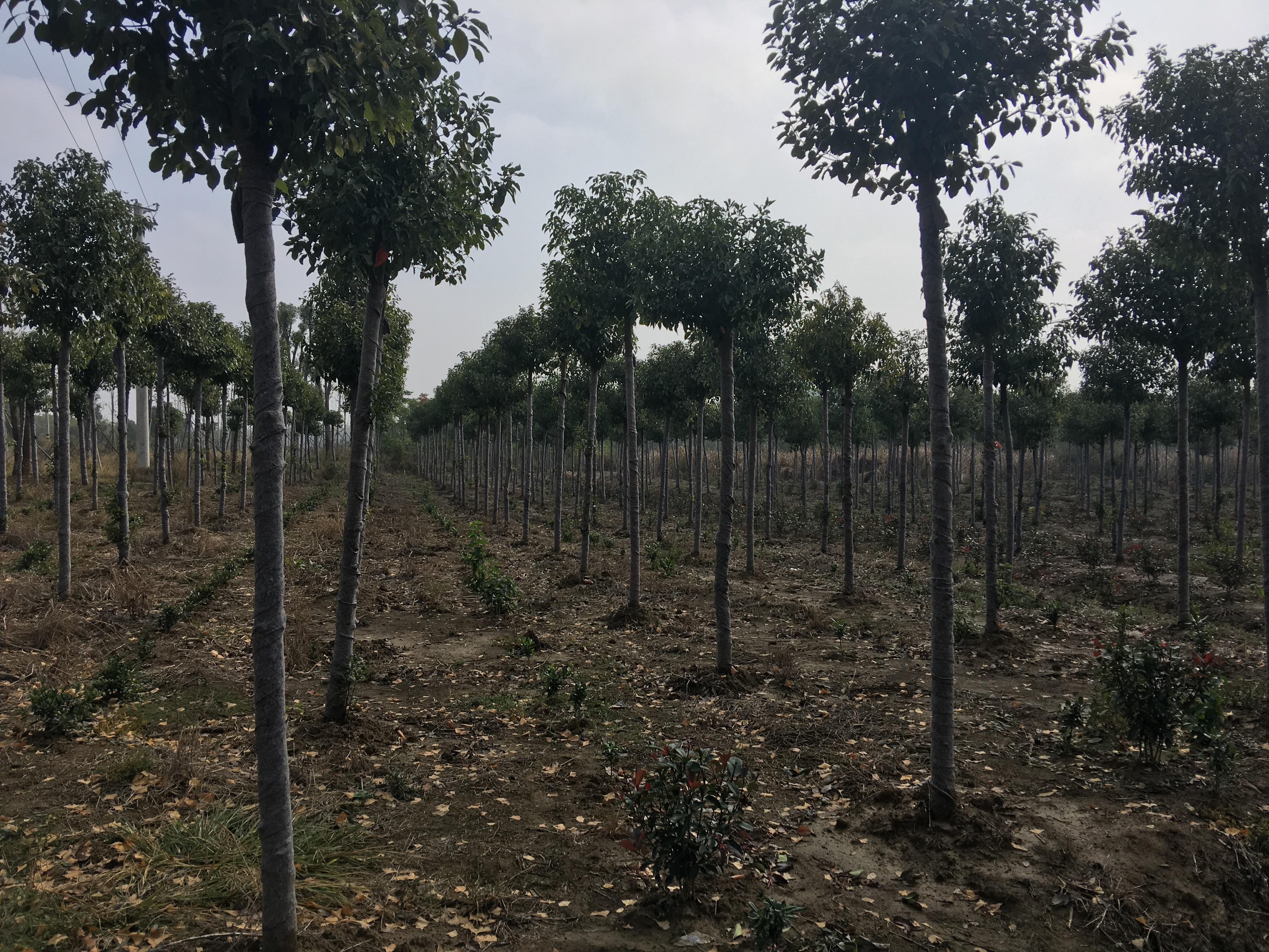 香樟树-助农香樟树基地-助农香樟树多少钱-助农香樟树价格 香樟树基地