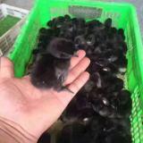 湖北五黑绿壳蛋鸡养殖基地