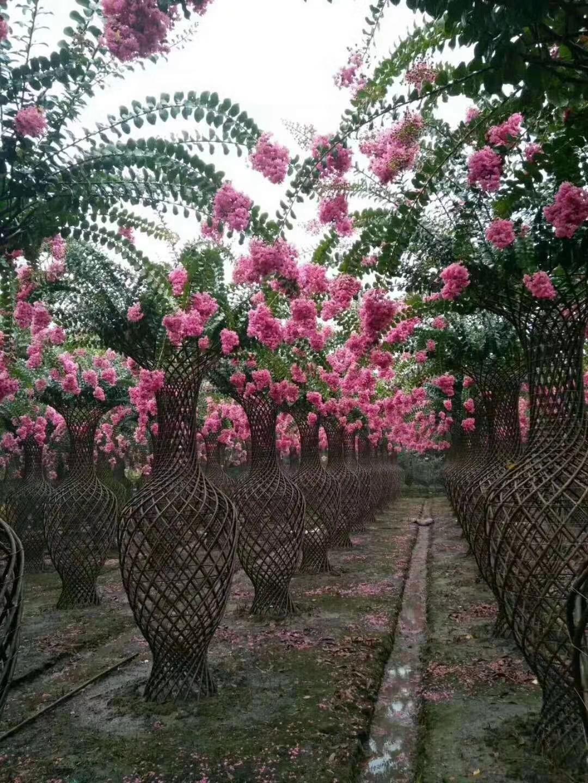 紫薇树、造型花瓶紫薇、美国红花紫薇,丛生紫薇,嫁接紫薇