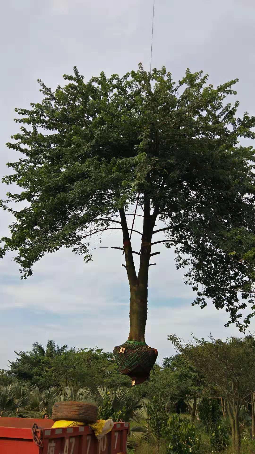 三亚木棉树 绿化植物 种植基地 基地直销 批发价格 优势供货商 电话地址报价 案例效果棉树