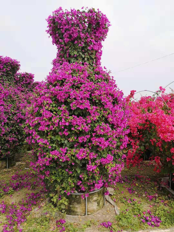漳州的优质花瓶三角梅