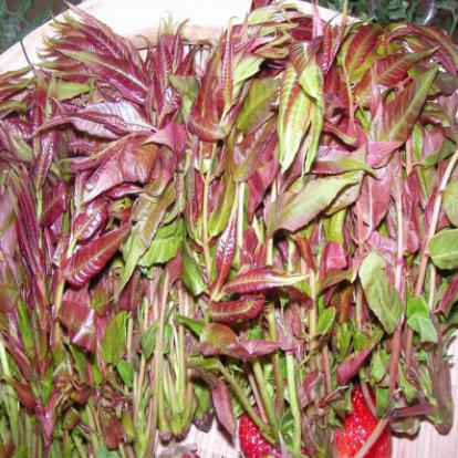 山东红油香椿苗市场直销批发公司-优质供应商生产商