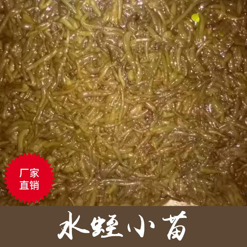 重庆专业养殖活体水蛭小苗 蚂蟥苗养殖 精品小苗 厂家直销