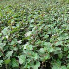 天然抗生素 鱼腥草种苗