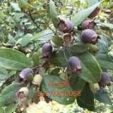 优质稔子苗种植方法 广东稔子苗哪家好 高产量桃金娘苗 供应稔子苗经销商