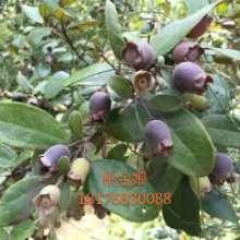 優質稔子苗種植方法 廣東稔子苗哪家好 高產量桃金娘苗 供應稔子苗經銷商圖片
